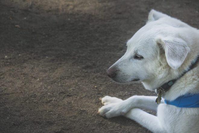 疲れてへたりこむ物憂げな犬